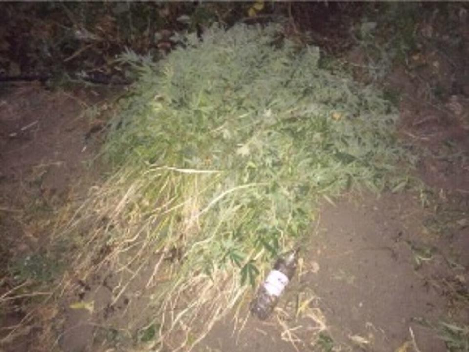 Волгоградец культивировал всвоём дворе наркотические растения