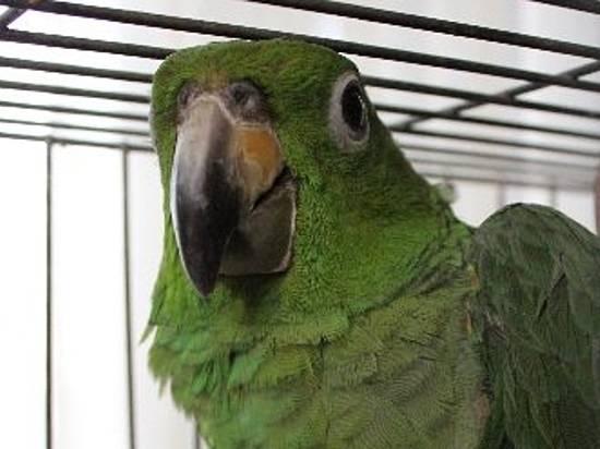 Камышанин свернул голову попугаю наглазах у11-летнего пасынка