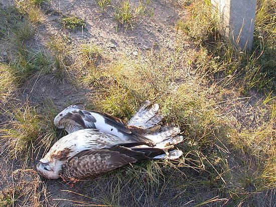Повине энергетиков под Волгоградом погибли шесть занесенных вкрасную книгу птиц