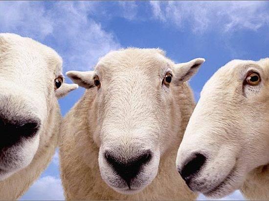ВВолгоградской области фермер расстрелял стадо овец конкурента