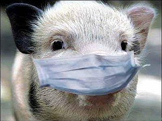 Под Волгоградом найдена вспышка африканской чумы свиней