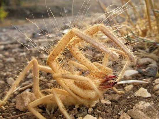 фото паук фаланги